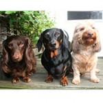 Baarmoederontsteking bij honden – foto van Tony Alter