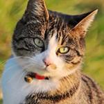 baarmoederontsteking kat – foto van tambako