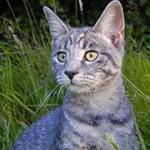 Laat uw kat castreren – foto van Flikr