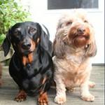 Symptomen baarmoederontsteking hond – foto van Tony Alter