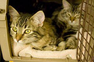 Hoe krijgt u uw kat in een reismand? Bron Flickr: Rob Marquardt